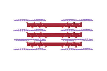 実際の筋細胞の収縮イメージ